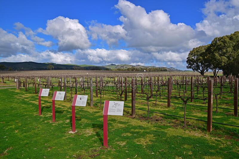 Wineyard with description of four seasons during winter in South Australia with hills in the background. This image is taken in a winery in the Barossa Valley of royalty free stock photography
