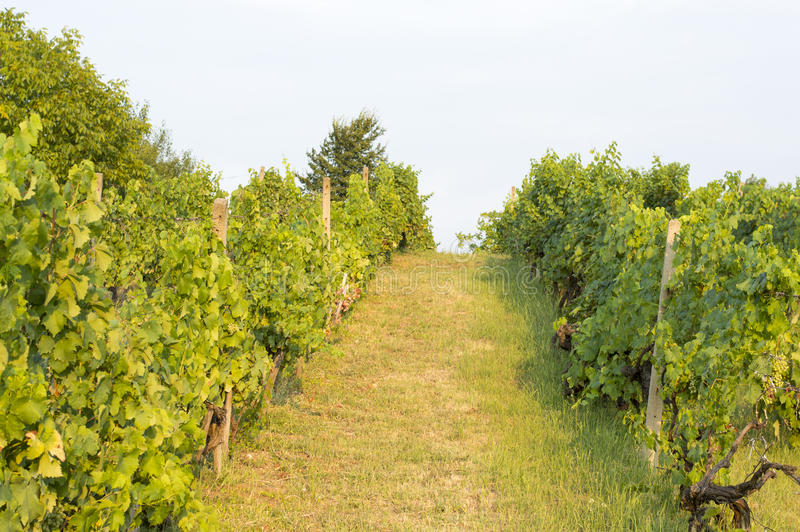 Wineyard i Serbien royaltyfri foto