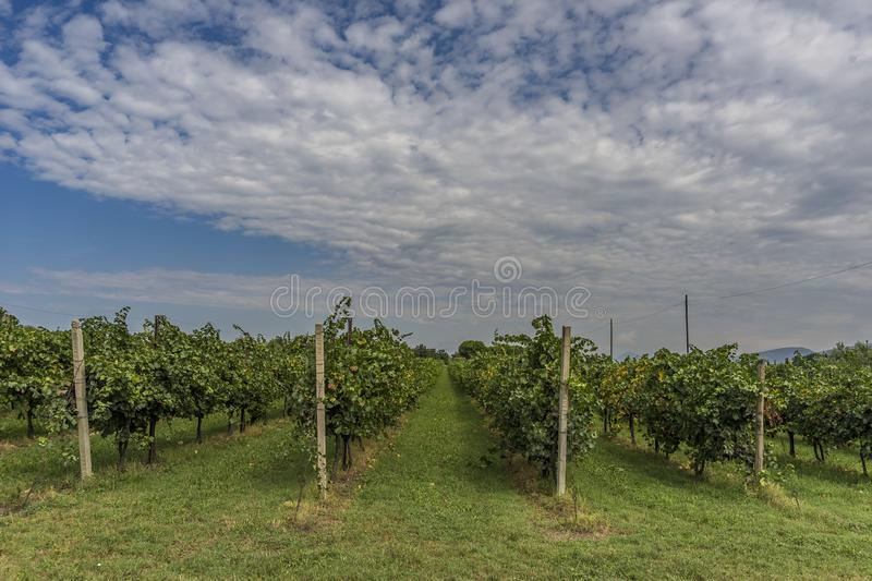 Wineyard green grape alley in Trento Italy royalty free stock image