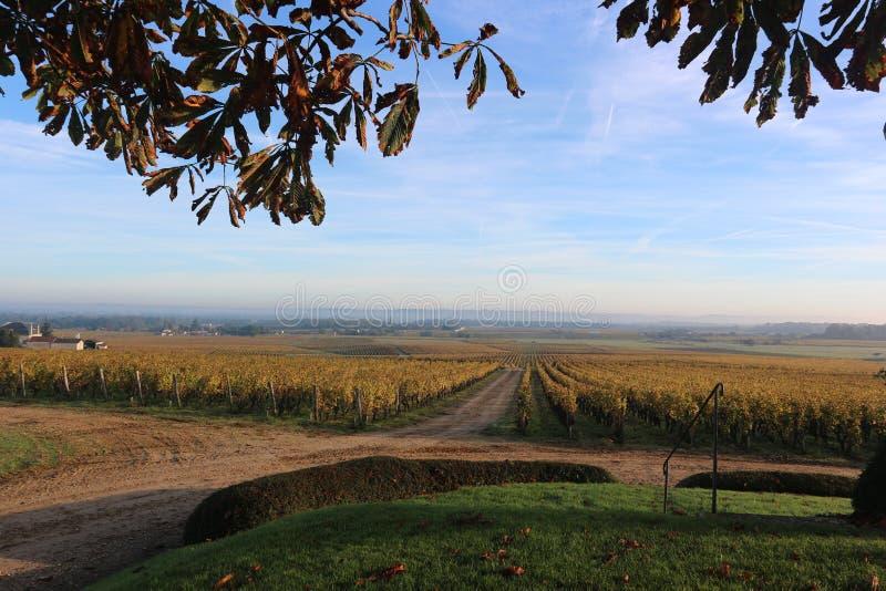 Wineyard på soluppgång under höst royaltyfria foton