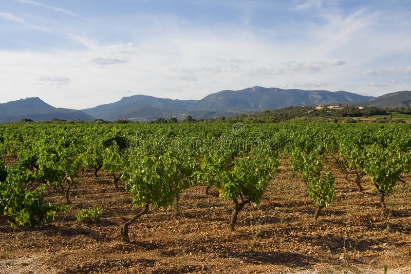 Wineyard, south France stock images