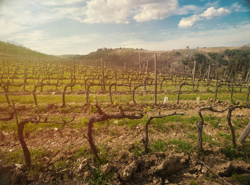 Wineyard in Toscana al tramonto immagine stock