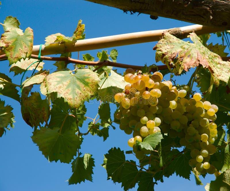 Wineyard Traubenblock stockfotos