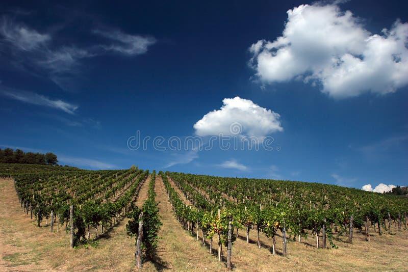wineyard tuscan obrazy royalty free