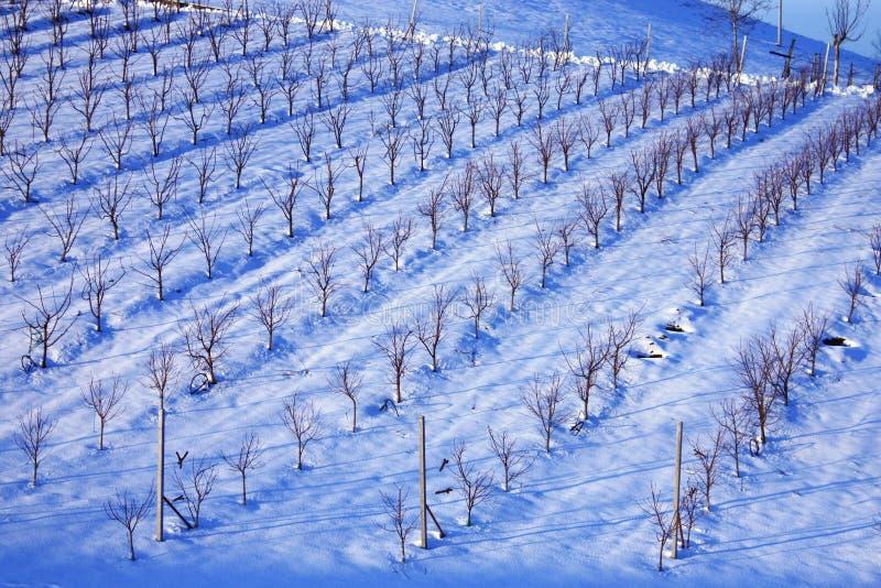 Wineyard under the snow. Wineyard of Lambruso wine in Castelvetro, under the snow royalty free stock photos