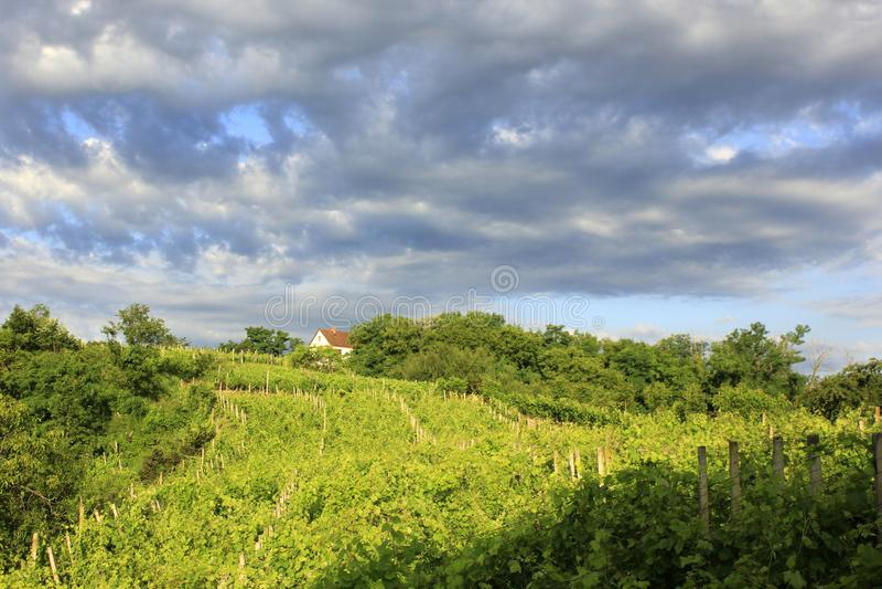 Wineyard_2805 stockfoto