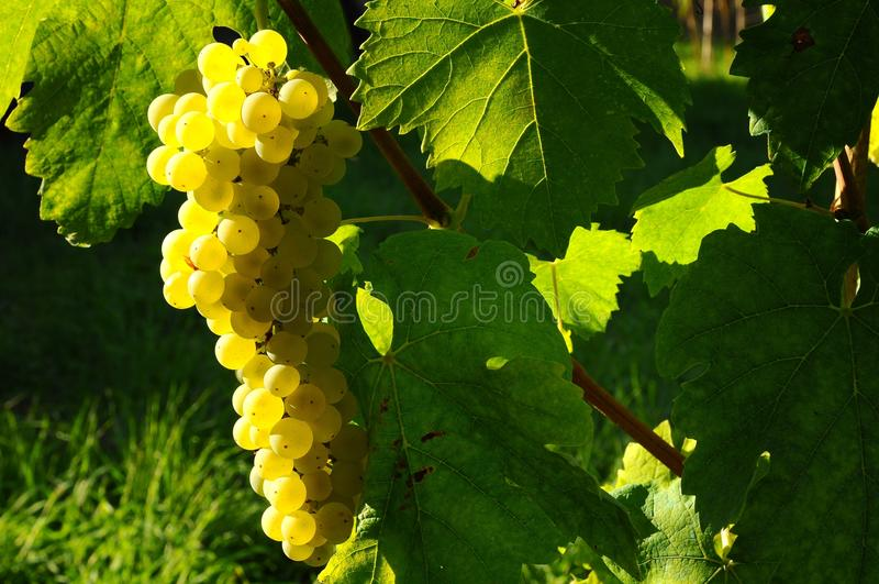 Wineyards在托斯卡纳, Chianti,意大利 免版税库存图片