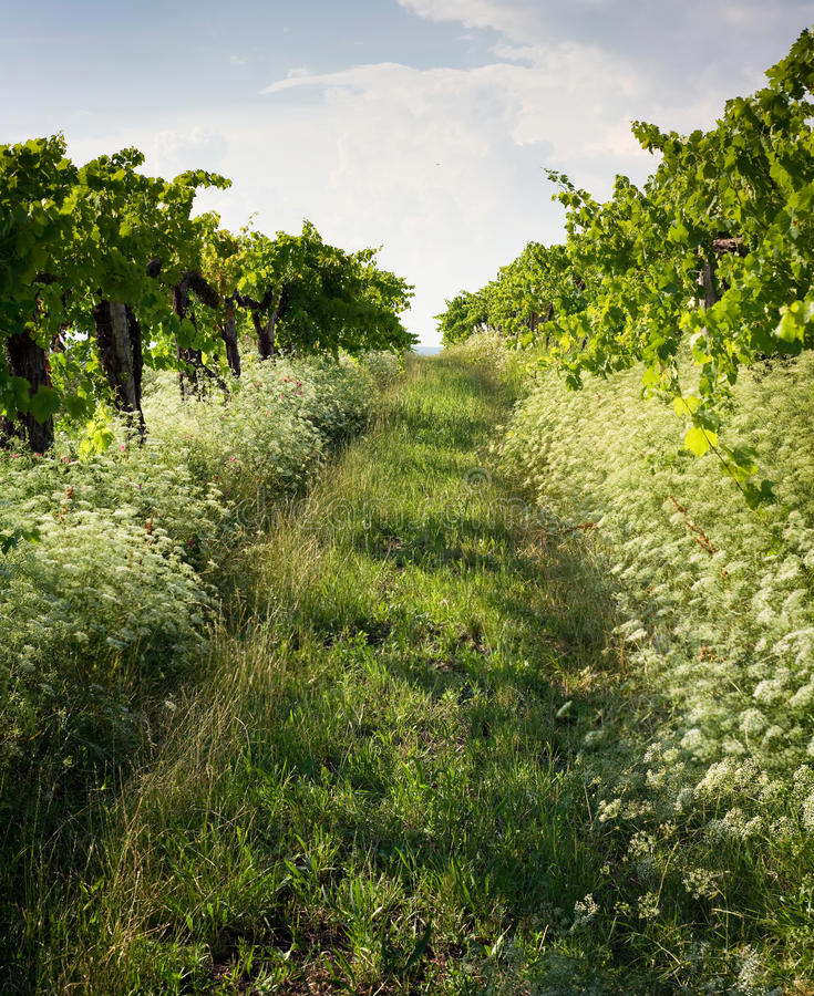 The Wineyards Stock Photo