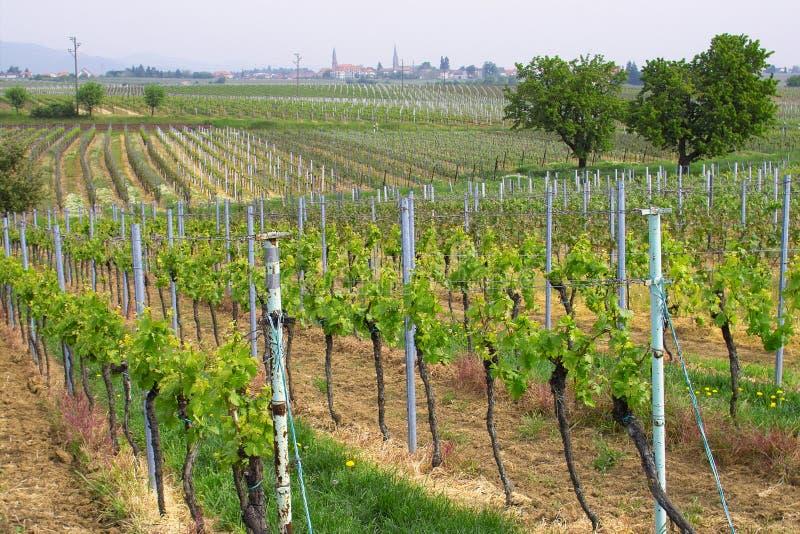 Wineyards in de lente royalty-vrije stock foto's