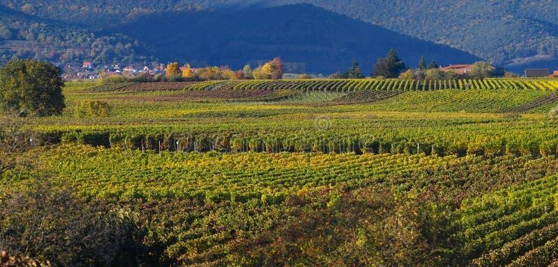Wineyards en otoño imagen de archivo libre de regalías