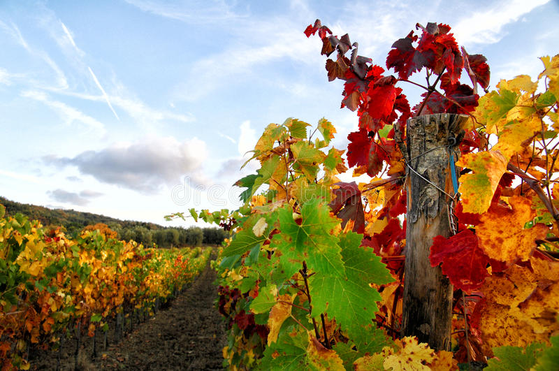 Wineyards i Tuscany, Chianti, Italien royaltyfri foto