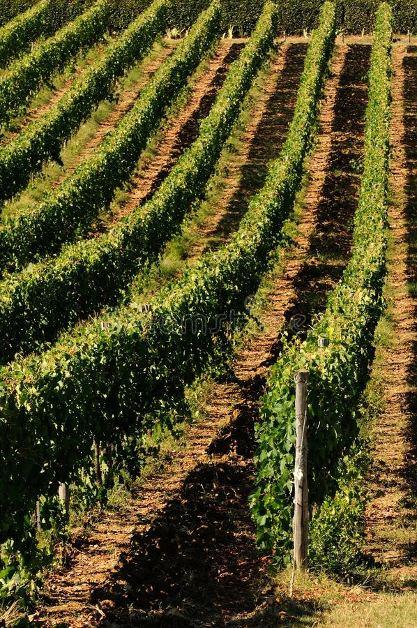 Wineyards i Tuscany i sommar, Chianti, Italien fotografering för bildbyråer