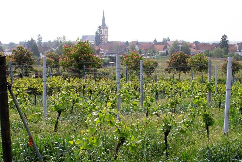 Download Wineyards in spring stock image. Image of grape, greenery - 780303