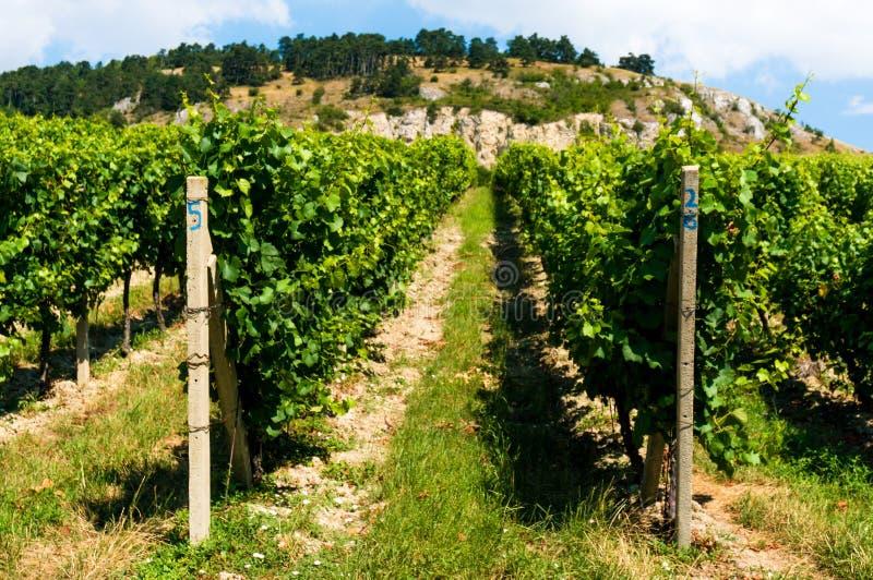 Wineyards Zuid- van Moravië op Palava-heuvels stock afbeeldingen