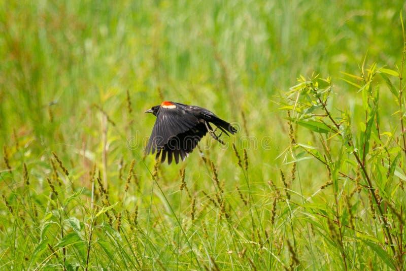 Wing Blackbird Male vermelho em voo na área da conservação do cume do bastão dentro DENTRO fotos de stock royalty free