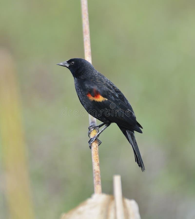 Wing Blackbird rojo fotos de archivo