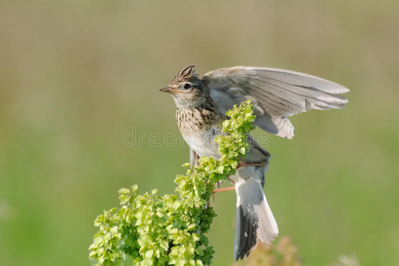Wing flapping Eurasian Skylark. Eurasian Skylark (Alauda arvensis) flapping wings when perching in the meadow. Moscow region, Russia stock photos