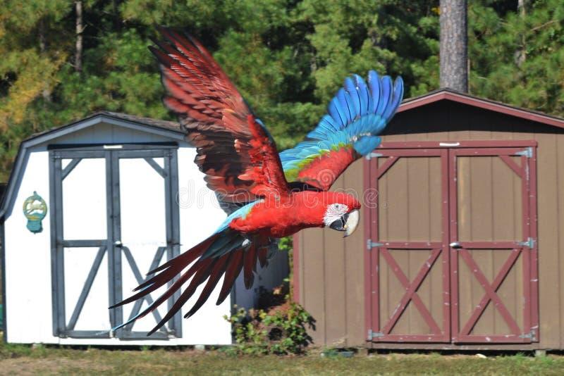 Wing Macaw verde no voo fotos de stock