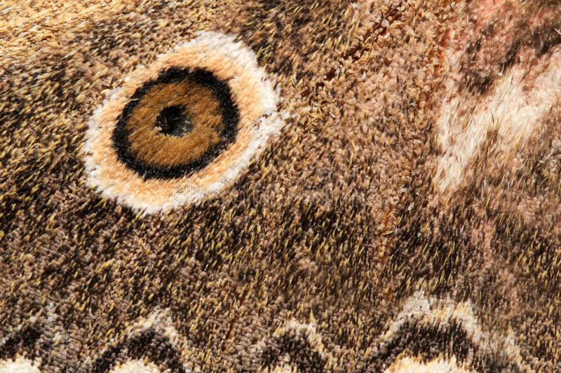 Wing of a moth