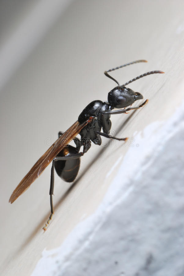 Winged Ant stock image