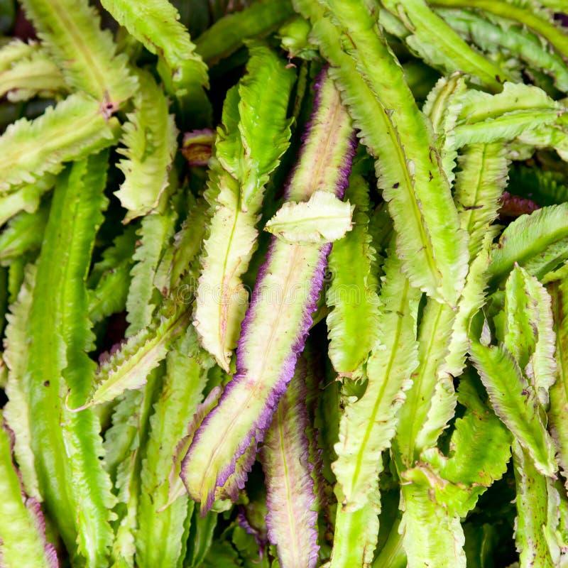 Download Winged Bean stock photo. Image of ceylon, asian, bean - 19826312