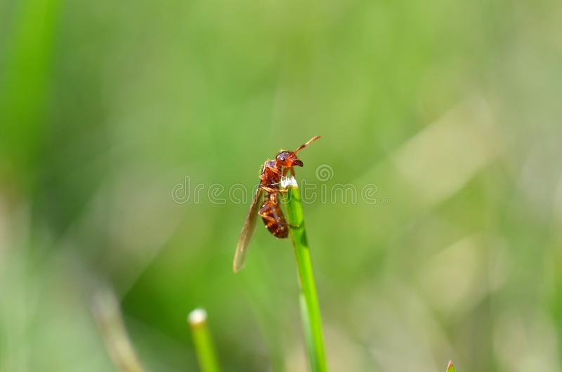 Winged brown ant crawling up a blade of grass, macro image of an insect on a blurred green background, end of summer stock photo