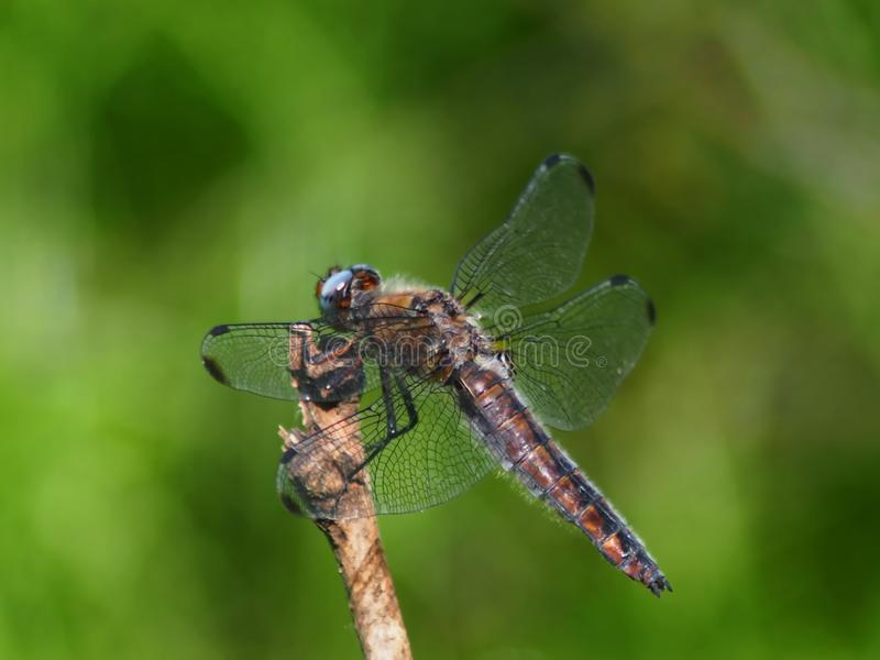 The winged quivering creature hid from the sun and from predators. Butterfly sitting on green leaf lighting bright contrast second and she`ll go on about his stock photography