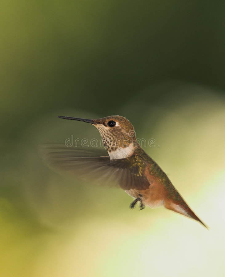 Download Wings stock photo. Image of floating, humming, archilochus - 234284