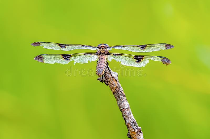 Wings and backside of a skimmer I believe dragonfly - perched between hunting trips on a twig with a beautiful green background royalty free stock photos