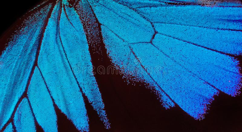 Wings of a butterfly Ulysses. Wings of a butterfly texture background. Closeup. stock photos