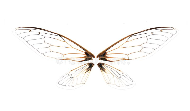 Wings of Insect cicada on white background royalty free stock photo