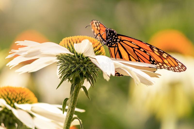 Wings of monarch butterfly on a white daisy stock photography