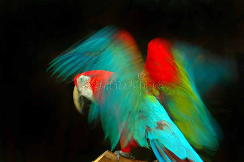 Wings in Motion. Photo of a beautiful and colorful macaw parrot with its wings in motion stock photo