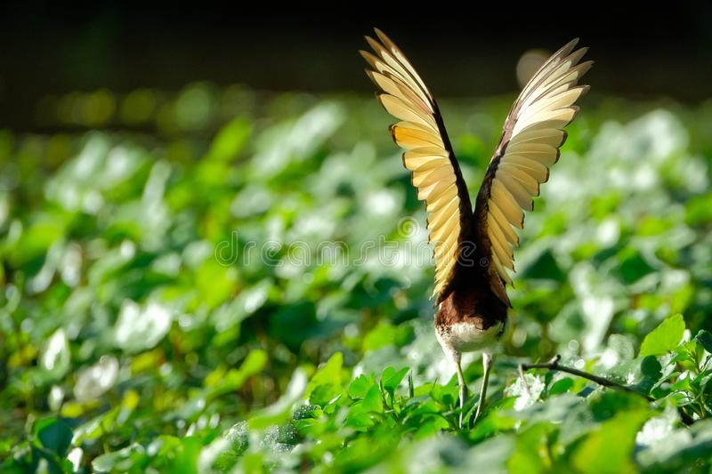 Wings of the northern jacana stock image