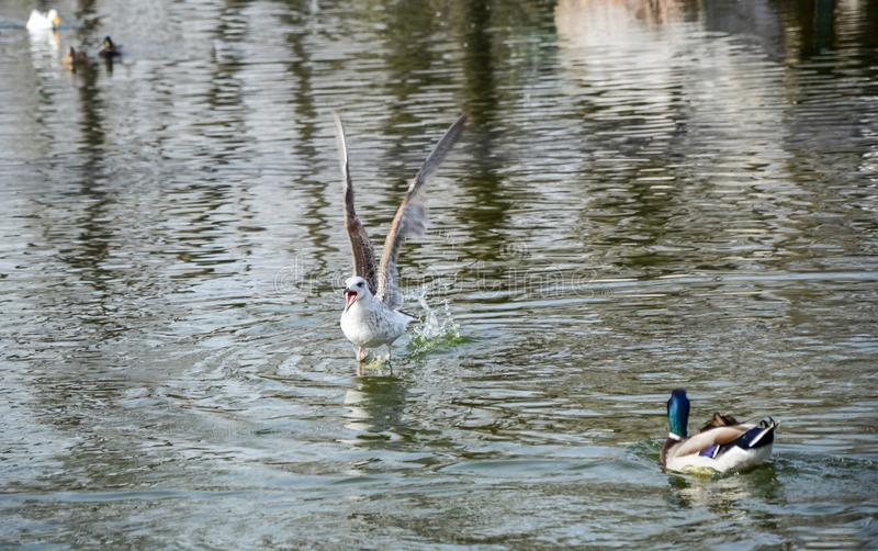 Wings open and shouting water bird on the water surface stock photos