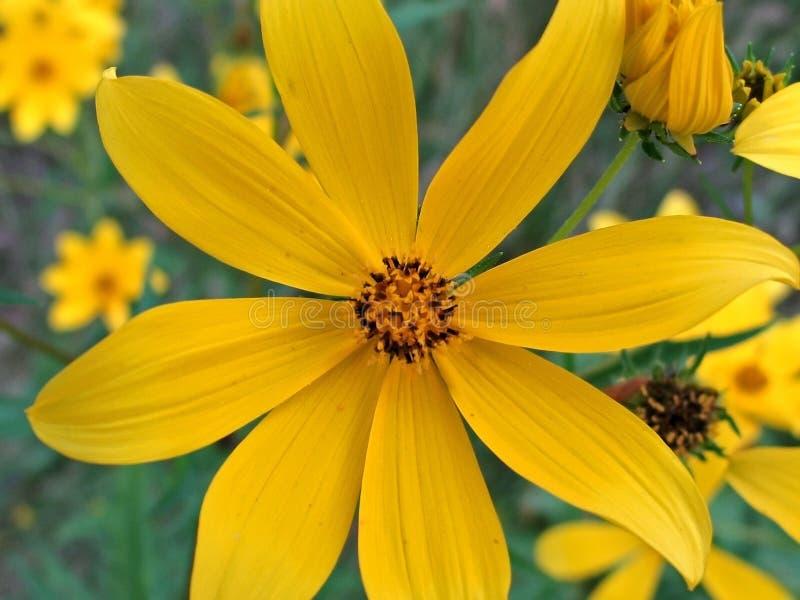 Wingstems amarillo imagen de archivo libre de regalías