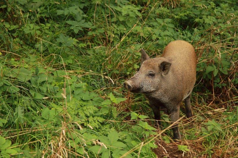 Download świnia dzika zdjęcie stock. Obraz złożonej z przyroda - 21099146