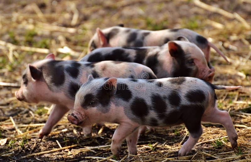 Świnia Lubi ssaka, świnia, Domowa świnia, fauna
