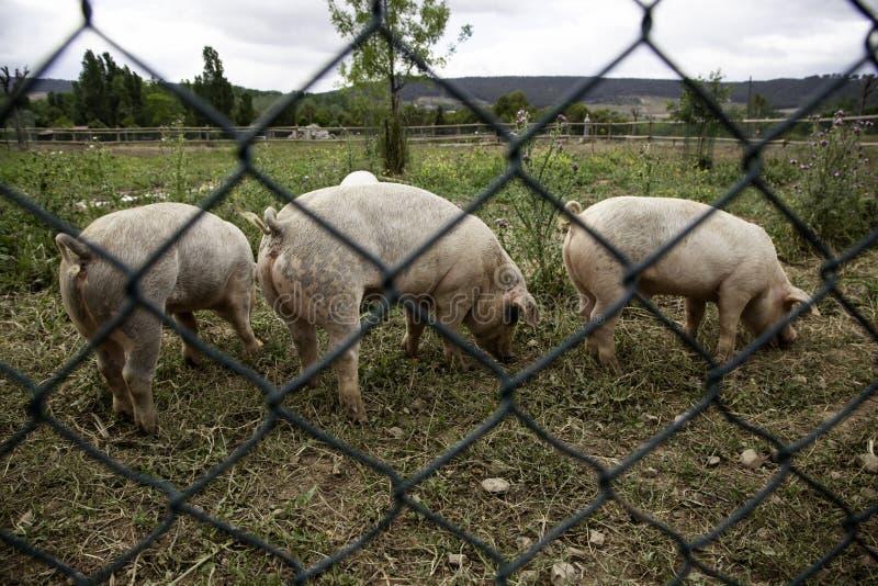 ?winie na gospodarstwie rolnym zdjęcia stock