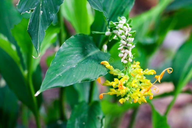 Winitii C de Globba H Las flores de Wright florecerán durante mayo a noviembre imágenes de archivo libres de regalías