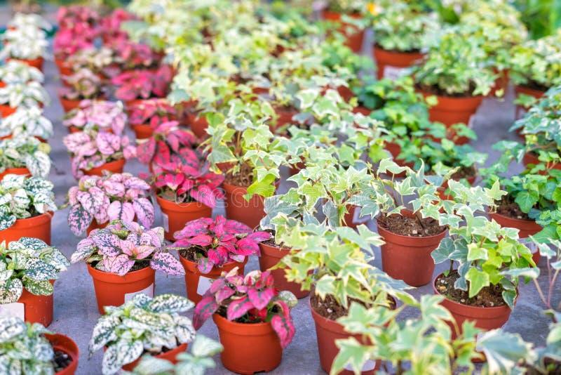 Winkel van installaties en bloemen voor het verkopen in installatiekinderdagverblijf stock foto