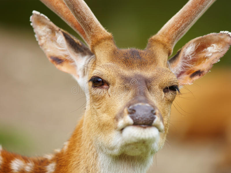 Download Winking deer stock image. Image of wink, winking, funny - 19905893