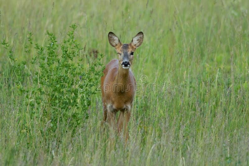 Winking deer. Wild female roe deer on a summer meadow winking, Estonia