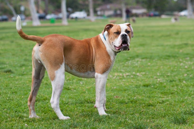 Winking dog royalty free stock image