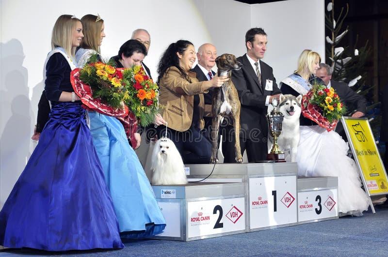 Winners of Dog Show. Grayhound #2 stock image