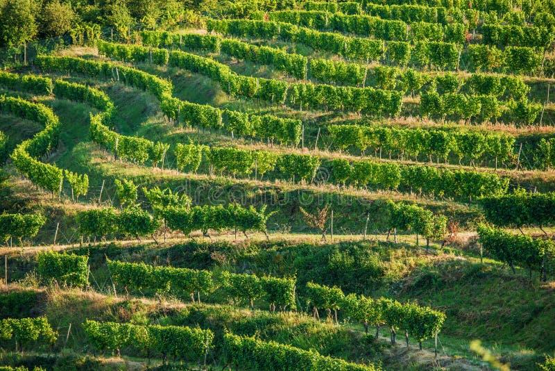Winniców pola w lecie obrazy royalty free