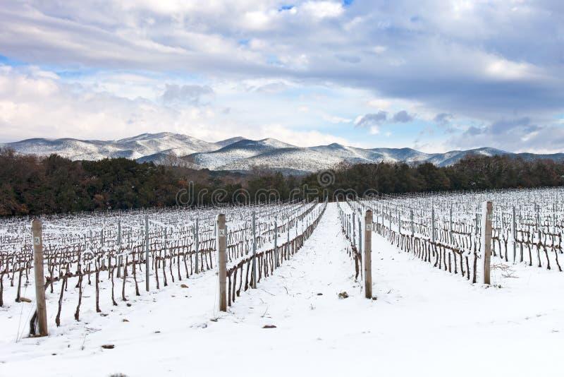 Winniców rzędy zakrywający śniegiem w zimie. Chianti, Florencja, Włochy obraz stock