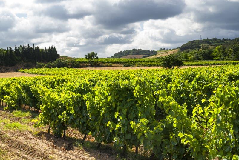 Winnica blisko Carcassonne (Francja) zdjęcia royalty free