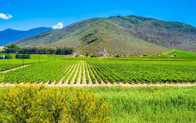 Winnica blisko Montagu, Południowa Afryka - rzędy młodzi gronowi winogrady fotografia stock