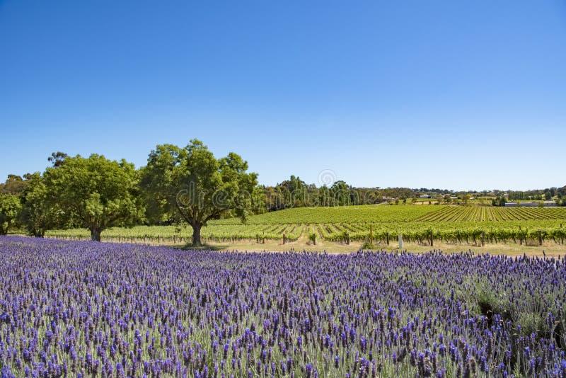 Winnica i lawenda, Barossa dolina, Australia zdjęcia royalty free